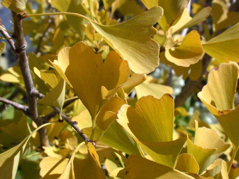 ginkgo-autumn-gold-fall